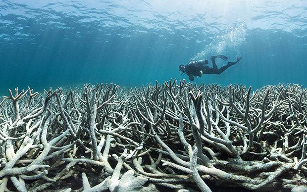 """Am Great Barrier Reef vor Australien kommt es zurzeit zu einer beispiellosen """"Korallenbleiche"""":  Durch die globale Erwärmung steigt die Wassertemperatur, weshalb die aus Kalk bestehenden Steinkorallenstöcke die lebenden Organismen abstoßen. Die Korallen s (Foto: XL Catlin Seaview Survey)"""