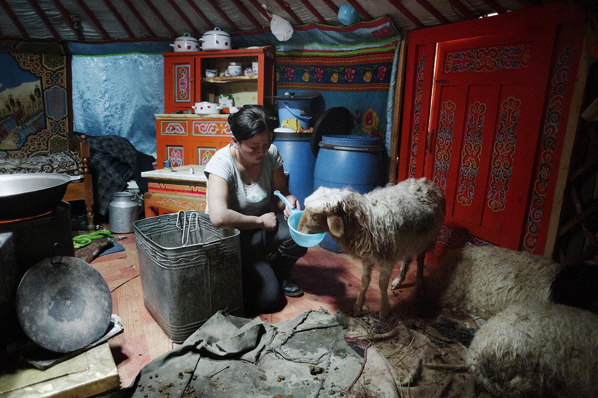Familie Tsamba pflegt ein Schaf in ihrem Wohnzelt