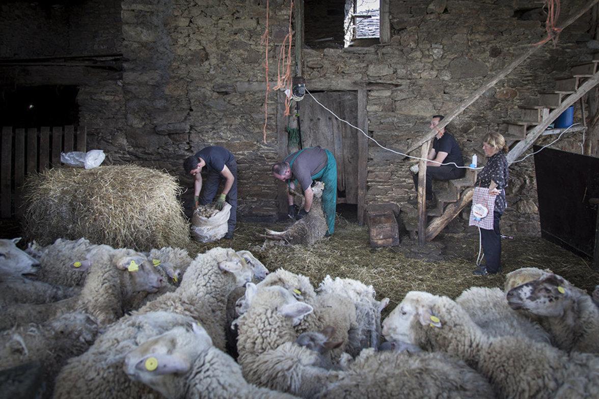Saisonarbeiter beim Schafe scheren