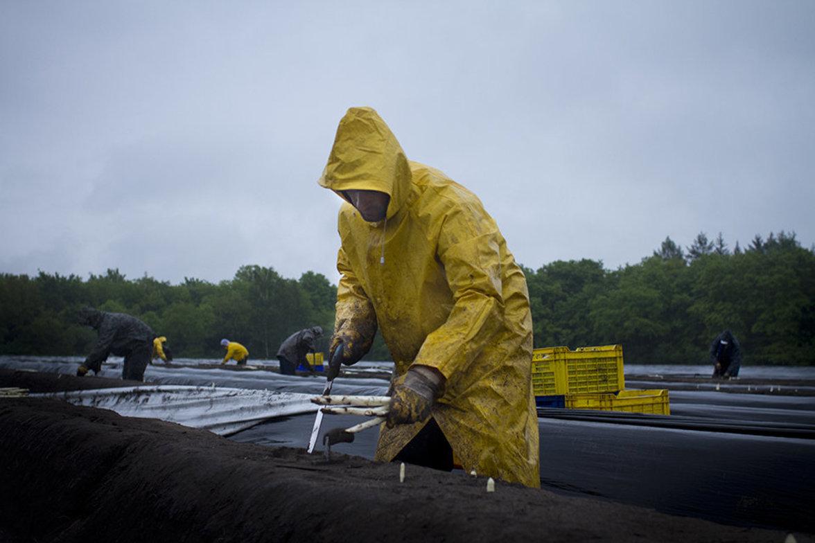 Saisonarbeiter beim Spargelstechen in Regen
