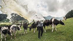 Landwirt auf Kuhweide verschüttet Milch