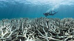 """Am Great Barrier Reef vor Australien kommt es zurzeit zu einer beispiellosen """"Korallenbleiche"""":  Durch die globale Erwärmung steigt die Wassertemperatur, weshalb die aus Kalk bestehenden Steinkorallenstöcke die lebenden Organismen abstoßen. Die Korallen s"""