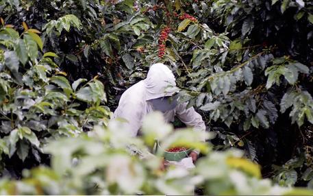 Kaffeepflückerin in Kolumbien (Foto: Natalie Pfeiffer und Alejandro Hainsfurth)