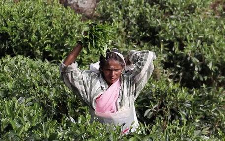Teepflückerinnen Sri Lanka
